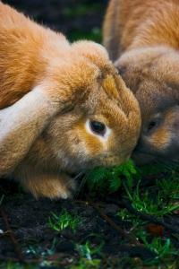 bunny-rabbits-1407520-1279x1919